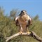 Ferruginous Hawk at the Arizona Sonoran Desert Museum