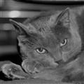 Grey cat sample