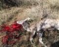 Hunted Kudu Ewe
