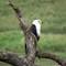 African Fish Eagle - Tarangire NP