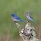 Western Bluebirds: