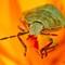 Green Shield Bug Palomena Prasina: