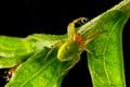 araniella curcurbitina spider