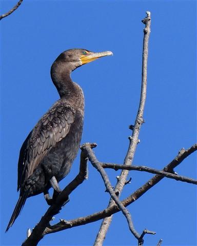 Cormorant 7 102912