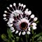 900flower1bPA189540