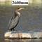 DSCN0261 +++cormorant profile 2600mm_02_crop