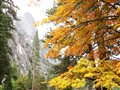 Sugar Maple Yosemite National Park, CA