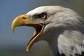 The screech of a Bald Eagle
