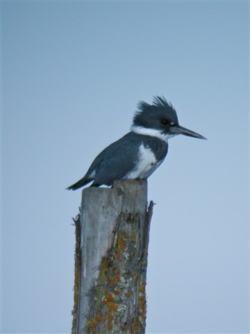 Kingfisher - Coolpix 4500