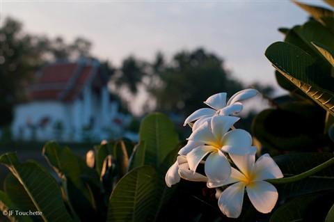 fleur_du_matin