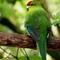 Red-crowned Kakariki