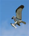 Successful Dive - Osprey