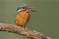 I Am Just A Hungrey Kingfisher Without A Day Fish