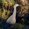 White faced heron in morning light_9526