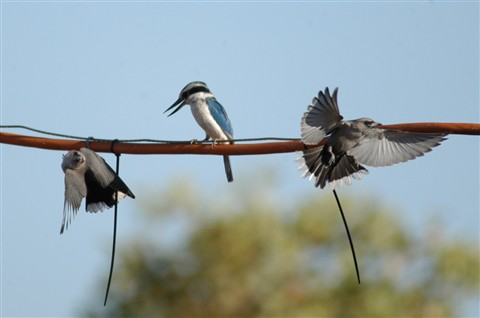 Kingfisher and woodswallows