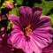 Honey-Bee-On-Mallow-Flower-2-V2-Web