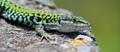 Lizard, shot in Cetraro (Calabria, Italy)