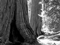 Giant Sequoias, General Grant Grove