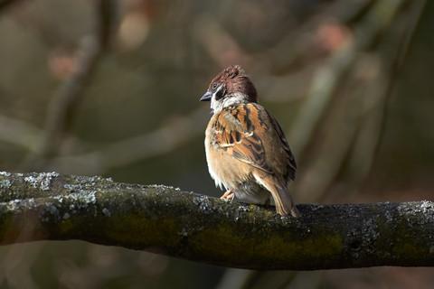vrabec na veji
