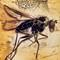 2017 Amber 049 April Diptera Brachycera