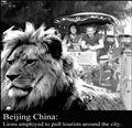 Lion Cab