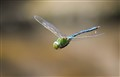 COMMON GREEN DRAGONFLY