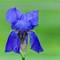 Blue Iris - 1600 square