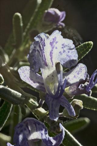 Rosemary 60x PMax