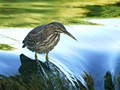 Young Green Heron