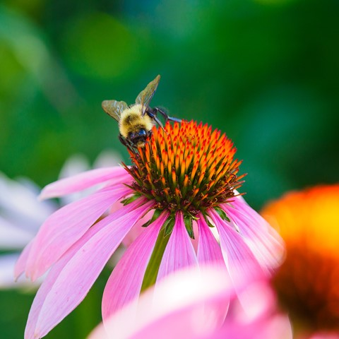 bee-on-a-summer-morning