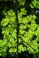 Leafes in backlight