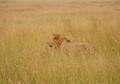 Serengeti Stalker