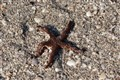 Starfish on Beach-3099