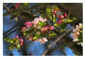 Cerisier des Bois.
