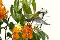 Female Brown-throated Sunbird in Flight