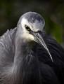 Taken at an artificial wetland called Trin Warren Tam-Boore, near Melbourne zoo.