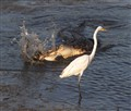 Alligator Feeding Egret Watching