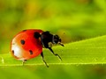 Spots On The Ladybug Before Your Eyes