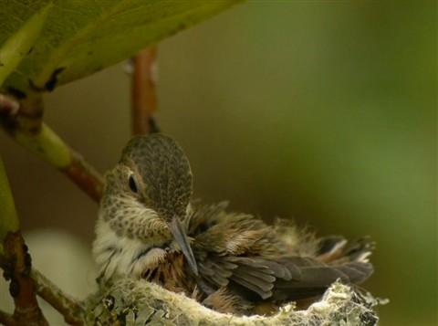Chaikin_Ann_RufousHummingbird-8