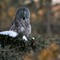 great grey owl perched in spruce