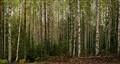 Birch groove