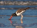 Oystercatcher catching oysters