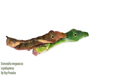 Eumorpha megaeacus verde e marrom