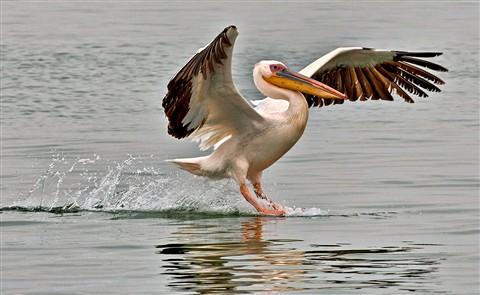 0479 African pelicanlanding 3-16-11