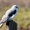 Kite on post Profile-1633