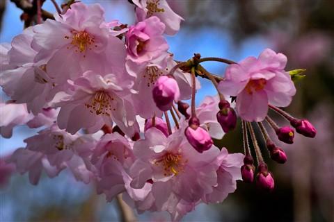 chery_blossom