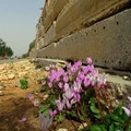 Cyclamen and the concrete wall