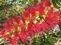 Callistemon (Australian wildflower)