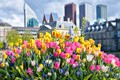 Tulips of the Hague