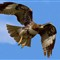 RED TAILED HAWK-31cc